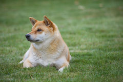 Shiba-inu dog on grass. Shiba-inu dog lying  on grass. Colour photo with copy space Royalty Free Stock Image