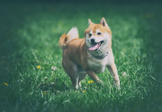 Shiba inu dog on grass Royalty Free Stock Photography
