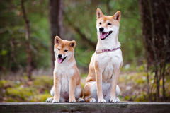 Shiba-inu dog and her puppy Stock Photography
