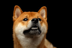 Shiba inu Dog, Isolated Black Background. Portrait of Shiba inu Dog, questioning Stare, Isolated Black Background, Front view Royalty Free Stock Photos
