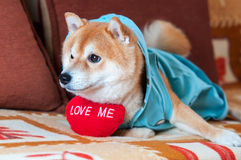 Shiba inu dog laying on bed with red heart Royalty Free Stock Photography