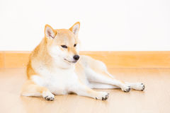 Shiba inu dog lying on floor Royalty Free Stock Image
