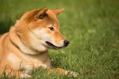 A shiba inu dog lying in the herb looks down with a cute air Stock Images