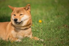 A shiba inu dog lying in the lawn and resting Stock Images