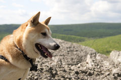 Shiba Inu. Dog outside in the summer Stock Photo