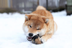 Shiba Inu dog playing with a toy Royalty Free Stock Photos