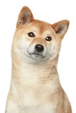 Shiba inu dog. Portrait on white background Stock Photography