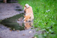 Shiba inu dog in puddle. Female shiba inu dog in puddle Royalty Free Stock Photo