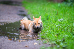 Shiba inu dog in puddle Royalty Free Stock Images