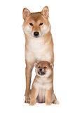 Shiba inu dog with a puppy Stock Photo