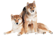 Shiba inu dog and puppy Royalty Free Stock Image