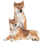 Shiba inu dog and puppy Royalty Free Stock Photos
