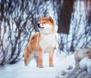 Shiba Inu dog. Redhead dog Japanese Shiba Inu breed with a cheerful muzzle Stock Photo