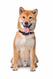 Shiba Inu dog Royalty Free Stock Images