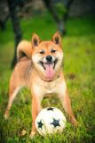 Shiba inu dog with tongue out with a ball Stock Photos