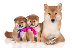 Shiba inu dog with two puppies. One month old shiba inu puppies Royalty Free Stock Images