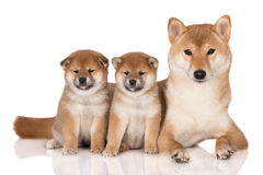 Shiba inu dog with two puppies. One month old shiba inu puppies Royalty Free Stock Image