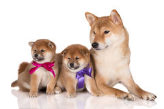 Shiba inu dog with two puppies in ribbons Royalty Free Stock Images