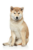 Shiba inu dog on a white background Royalty Free Stock Photos