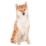 Shiba inu dog on white background Stock Photo