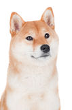 Shiba inu dog on white background Stock Photography