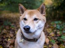 Shiba Inu en el bosque Foto de archivo libre de regalías
