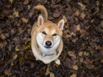 Shiba Inu en el bosque Imagen de archivo libre de regalías
