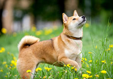 Shiba inu enjoying the walk Stock Photos
