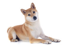 Shiba inu. In front of white background Royalty Free Stock Photography