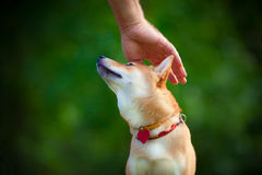 Shiba Inu in garden. Shiba Inu puppy in the park. A hand is petting the top of his head Royalty Free Stock Photo