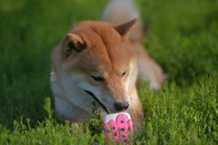 Shiba inu gnaws a toy. On the grass royalty free stock photo