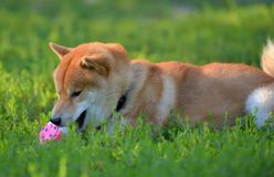 Shiba inu gnaws a toy. On the grass stock image
