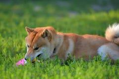 Shiba inu gnaws a toy. On the grass stock photos