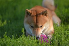 Shiba inu gnaws a toy. On the grass stock photography