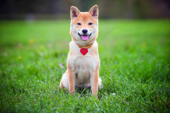 Shiba Inu on the grass. A young shiba inu sits in green garden Stock Photo