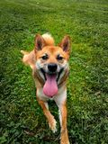 Shiba inu - happy dog with a big tounge. looking camera front Stock Photography