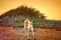 Shiba inu on a hiking trail. A vibrant scene of a Shiba Inu breed puppy on a hiking trail Stock Image