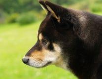 Shiba Inu Hund Stockbilder