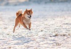 shiba inu Hund auf Schnee Stockfotografie