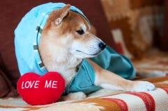 Shiba-inu Hund, der auf Bett mit rotem Herzen legt Stockbild