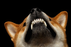 Shiba-inu Hund, lokalisierter schwarzer Hintergrund stockfotos
