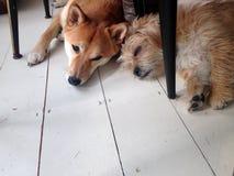 Shiba Inu i Pom-Shi zdjęcia stock
