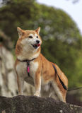 Shiba Inu Royalty Free Stock Images