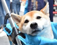 Shiba Inu Japanese dog is sitting in baby carriage, smiling softly. And looking at someone playing with him royalty free stock images