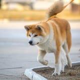 Shiba-Inu japansk hundstående Unga Akita Inu Dog Looking för Arkivbilder