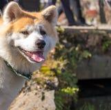 Shiba Inu: Japończyka pies Obrazy Stock