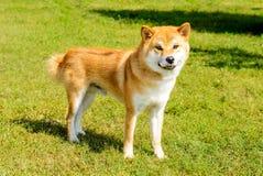 Shiba Inu kijkt in camera stock afbeelding