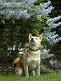 Shiba inu in lilac Royalty Free Stock Images