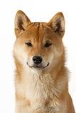 Shiba-inu Mann Stockbild