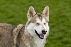 Shiba Inu med stängda ögon royaltyfria bilder